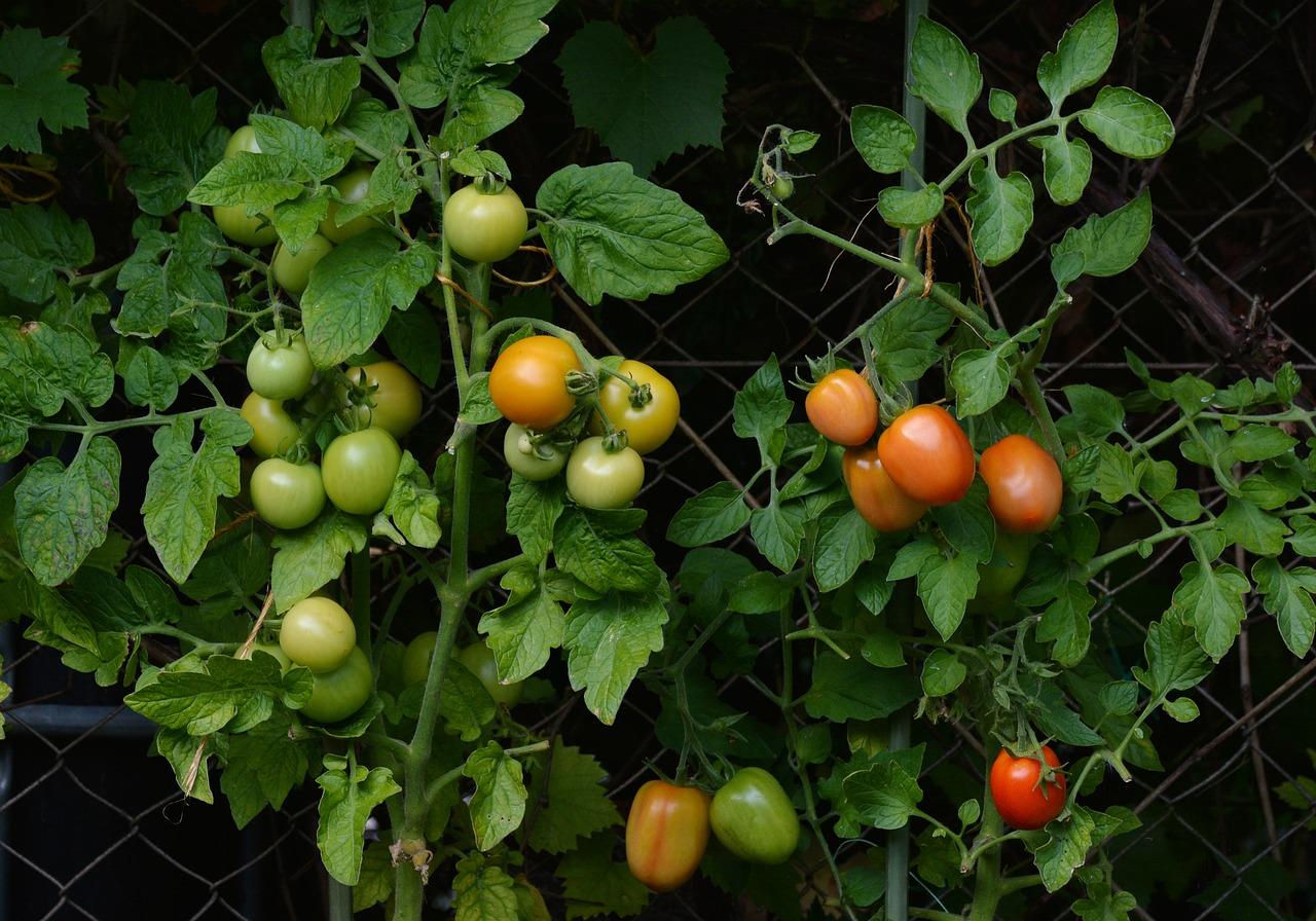 Comment rendre son jardin utile avec un potager de tomates?